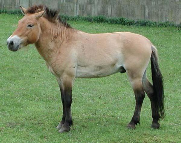 1-Лошадь Пржевальского