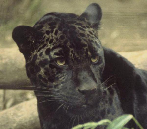 черная пантера.-