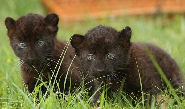 чёрная пантера- котята