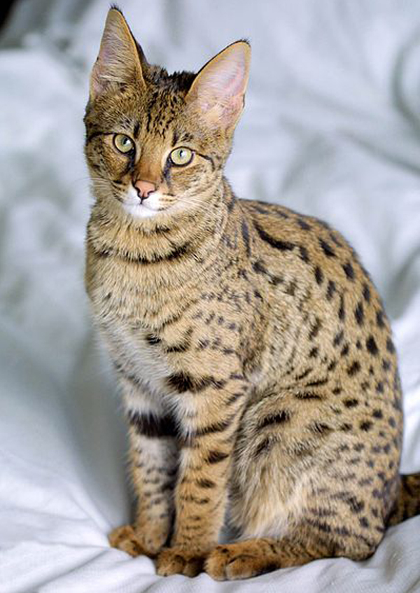 Savannah_Cat_гибрид