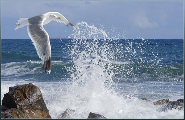 море-чайка