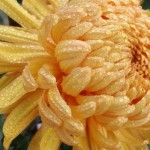 50 новых сортов на выставке хризантем
