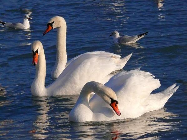 swan--=