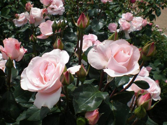 Крымская весна -новый сорт роз Никитского сада