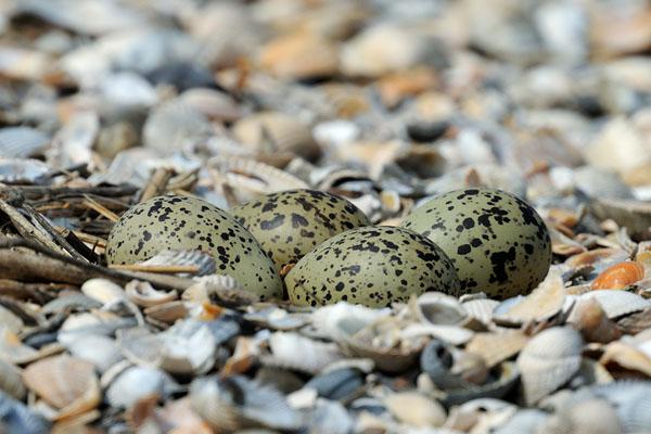 кулик-гнездо
