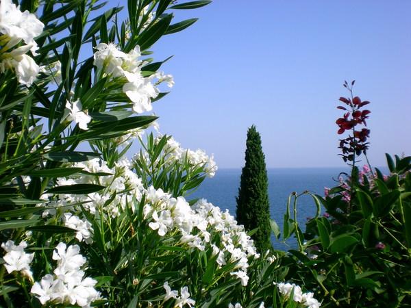 олеандр в цвету