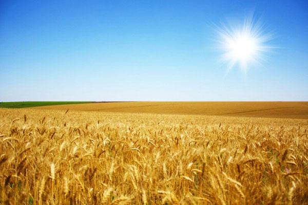1-пшеница