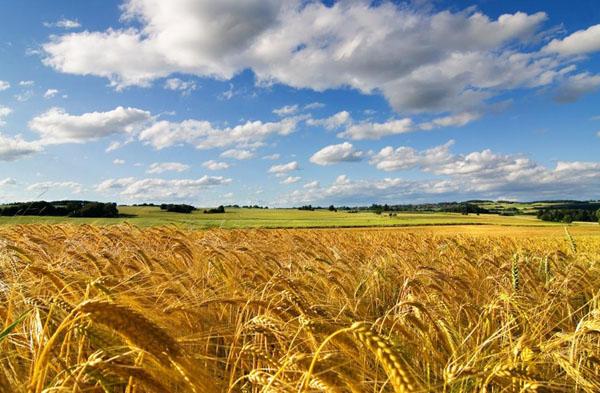 1-пшеничное
