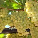 Крымские вина лучше европейских