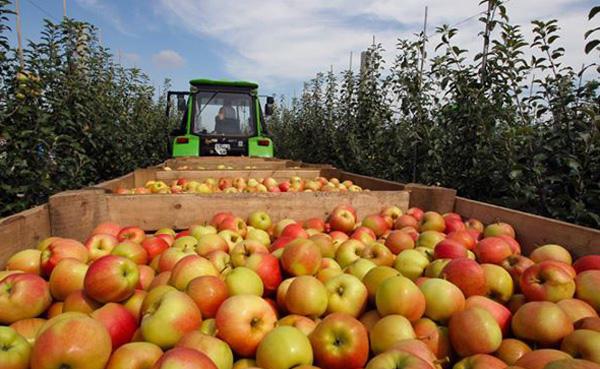крым-яблоки