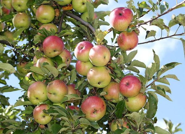 19-ябл-спас