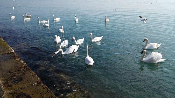 лебеди8