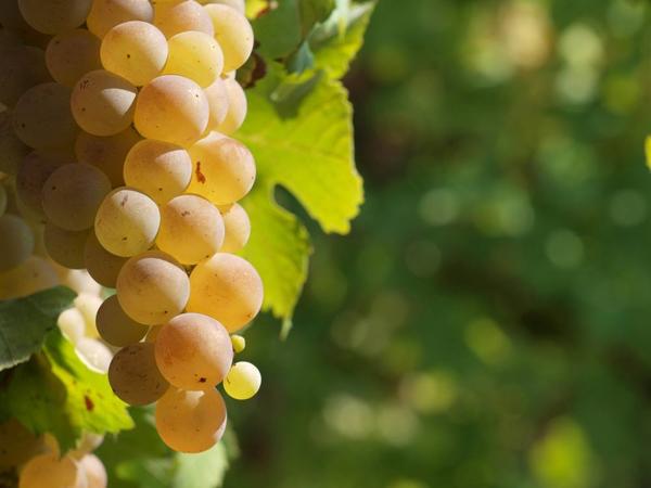 виноград-янтарь