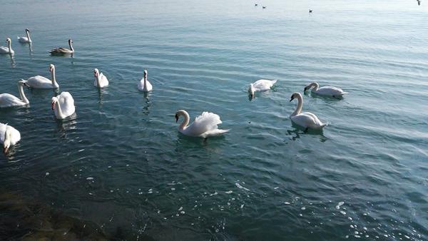 лебеди-море