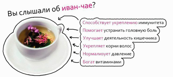 1-чай-ivan-chay-svoystva