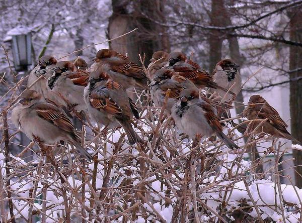 Зима-заседание воробьиной думы