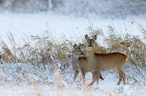 зима-олени