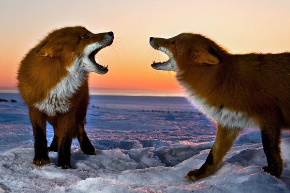 зим-лисицы
