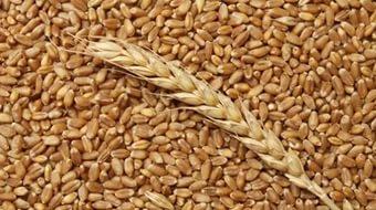 пшеница-зерно