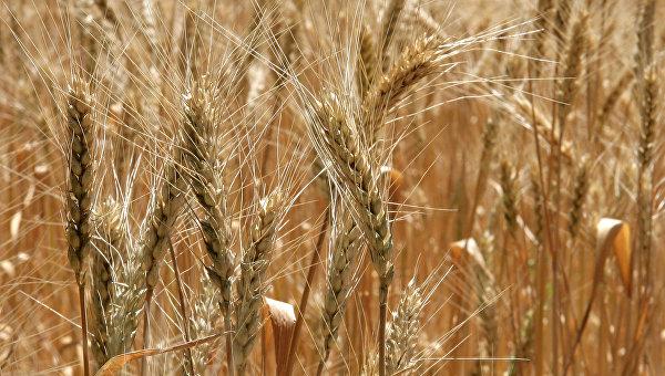 пшеница-колос