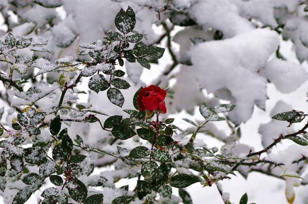 1-зима-Крымская роза.