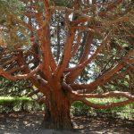 Земляничное дерево в Крыму