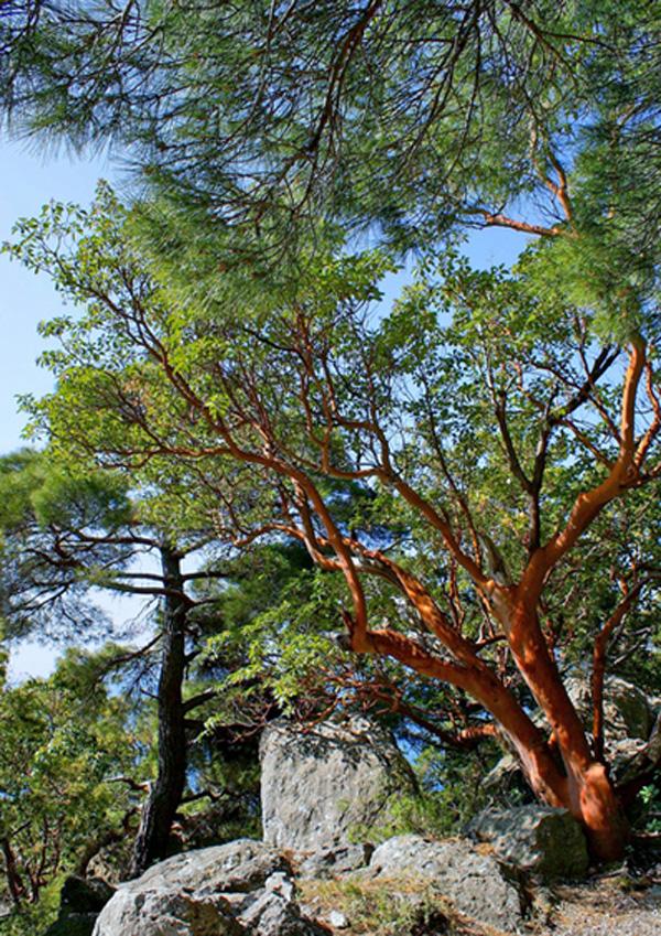 земляничное дерево--