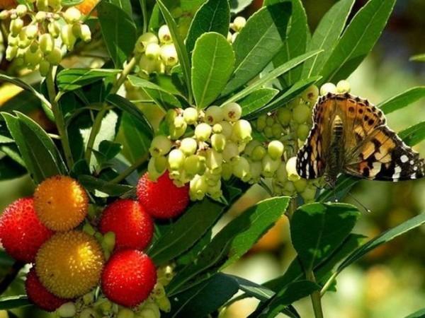 земляничное дер-плоды и цветы