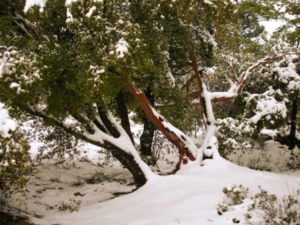земляничник зимой=zemlyanichnoe-derevo-1