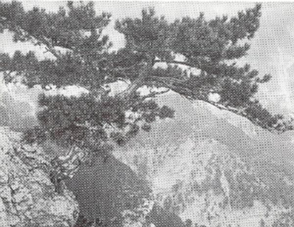 Дочь голых скал. Одинокая сосна. Бронзовая медаль на Международной выставке МХФО 1908 г.