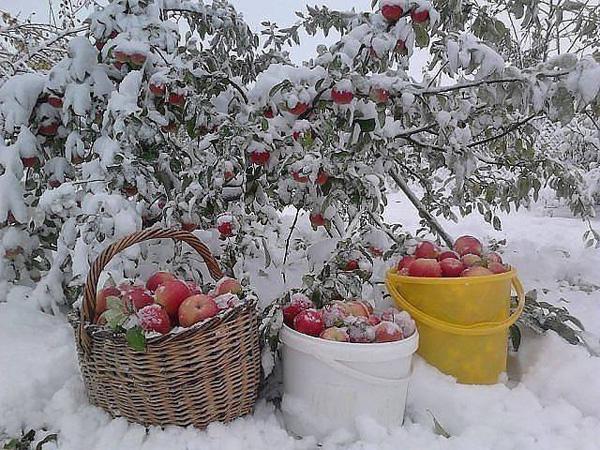 yabloki-na-snegu
