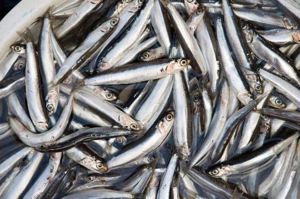 xamsa-anchous