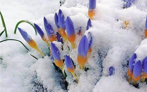 крокусы-синие