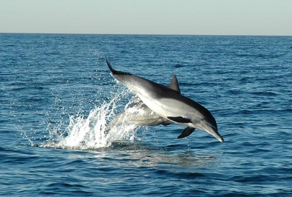 дельф-delphinus