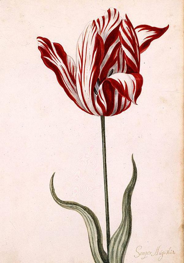 0-Semper_Augustus_Tulip_17th_century
