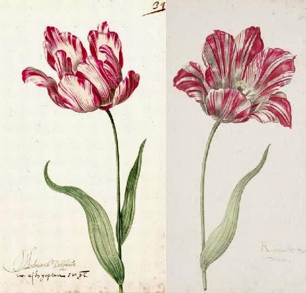 0- Tulip -1559