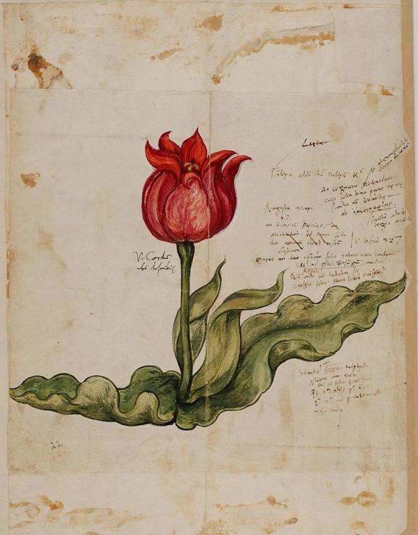 0- Tulip (1559)