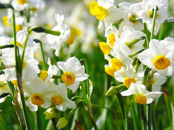 9. Нарцисс