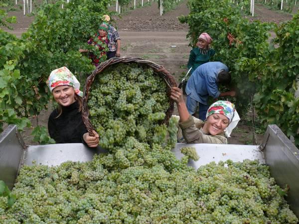 виноград-золотая балка