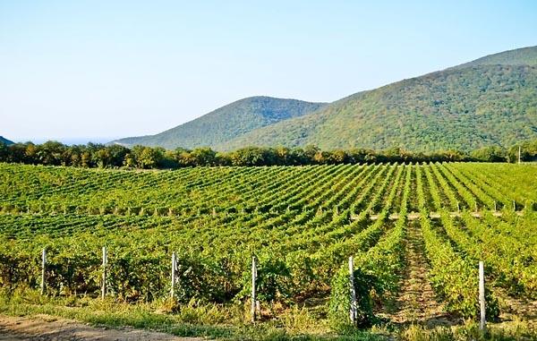 вино-Vinogradnik-