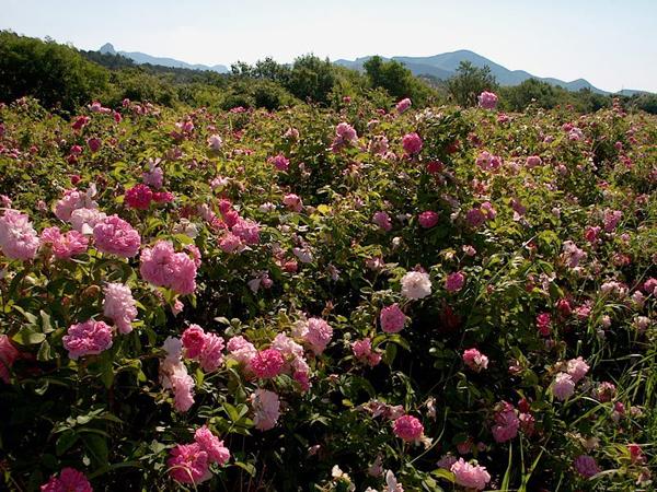 01-долина роз