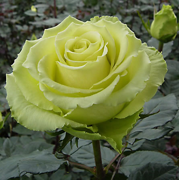 01-зелёной окраски «Green Rose» (1833 г.),Лимбо.