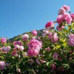 Крымская роза для советских духов