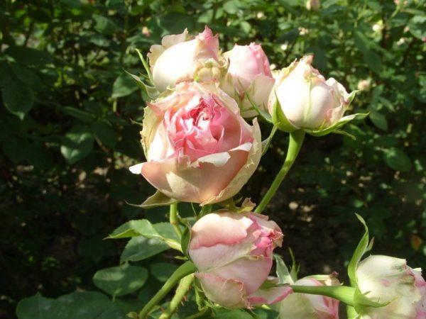01-розы