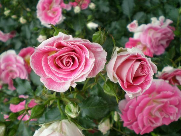 Сорт «Queen Elizabeth» – родоначальник группы роз Грандифлора.