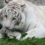 В День Льва в Крыму родились белые львята