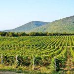 Автохтонные сорта винограда – гарантия успеха крымских вин