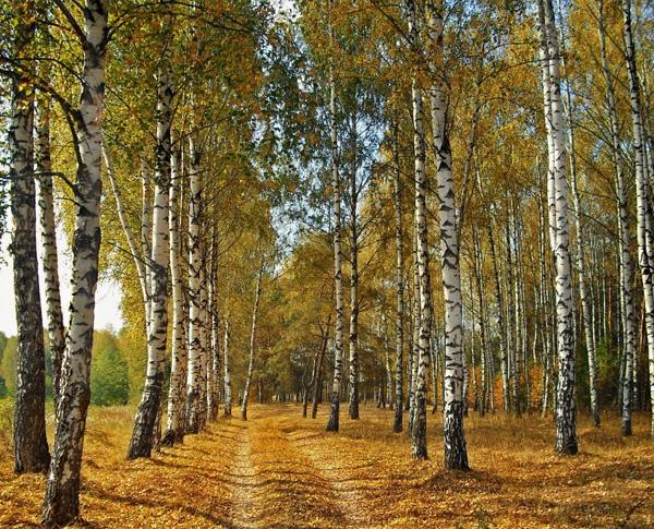 0-берёза-осень