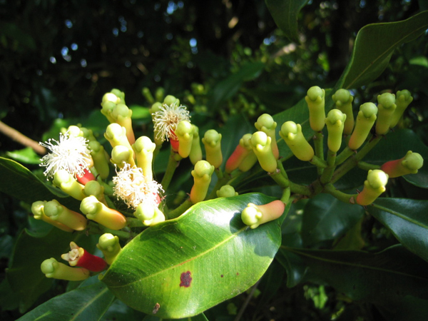000Syzygium_aromaticum_on_tree