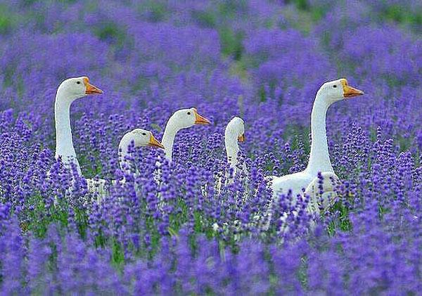 Белые гуси в лавандовом раю